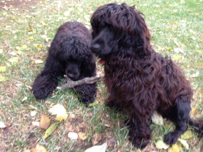 http://chesvik-top.ru/en/wp-content/gallery/portugalwaterdog/fidelia-do-lusiadas-early-boy.jpg