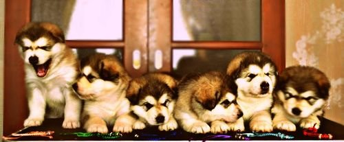 http://chesvik-top.ru/en/wp-content/gallery/shadowpups/pups1.jpg
