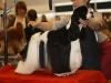 Американский кокер Принц на международном конкурсе грумеров, Москва, 2012 г.