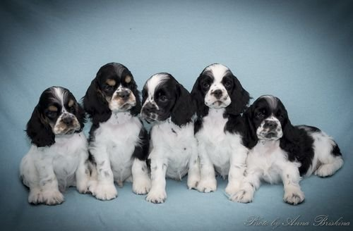 http://chesvik-top.ru/wp-content/gallery/puppies/img_8014_web.jpg